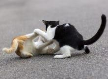 Gatos que disfrutan de jugar el uno con el otro Fotografía de archivo
