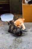 Gatos que juegan con sus colas, Cubs juguetón de Cub imagen de archivo libre de regalías
