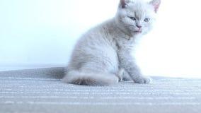Gatos que lamen su boca almacen de video