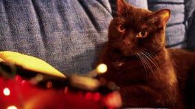 Gatos que mienten en el sofá almacen de metraje de vídeo