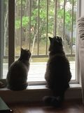 Gatos que miran hacia fuera la ventana Fotografía de archivo