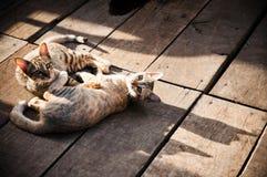 Gatos que se reclinan sobre suelo de madera Imagen de archivo libre de regalías