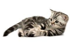 Gatos rectos escoceses imagen de archivo