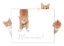 Gatos rojos Fotografía de archivo libre de regalías