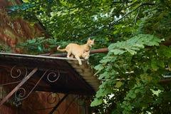 Gatos rojos en el tejado Imagen de archivo