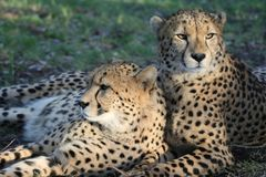 Gatos salvajes del guepardo Imagenes de archivo