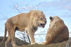Gatos selvagens grandes Imagens de Stock