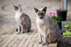 Gatos siameses Imagen de archivo libre de regalías