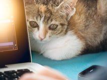 Gatos suaves del bebé de la imagen con el hombre que trabaja en el ordenador portátil y el café de la bebida Imagen de archivo