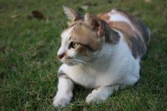 Gatos tailandeses en un césped verde Imagen de archivo libre de regalías