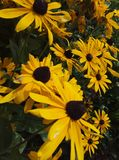 gatsania Blume stockfotos