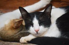 gatti Fotografie Stock