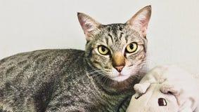 Gatti asiatici dei peli di scarsità ed i suoi giocattoli Fotografia Stock Libera da Diritti