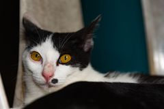 Gatti in bianco e nero che dormono sui gatti della sedia vicino su, selettivo Fotografia Stock