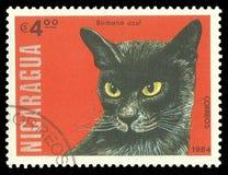 Gatti, blu birmano Fotografia Stock