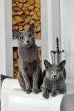 Gatti blu russi Fotografie Stock Libere da Diritti