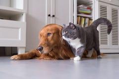 Gatti britannici e golden retriever dello shorthair Fotografia Stock