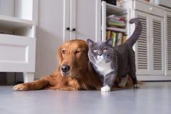 Gatti britannici e golden retriever dello shorthair Fotografie Stock Libere da Diritti