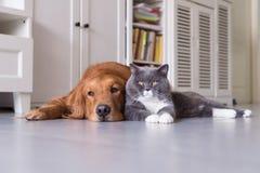 Gatti britannici e golden retriever dello shorthair Fotografie Stock
