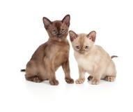 Gatti Burmese che si siedono sul bianco fotografia stock