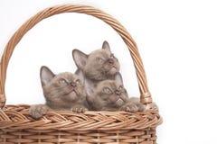 Gatti Burmese in grande cestino immagini stock