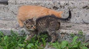 Gatti in Carpathians Fotografia Stock Libera da Diritti