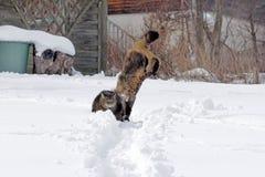 Gatti che giocano e che saltano nella neve Fotografia Stock