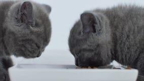 Gatti che mangiano alimento per animali domestici video d archivio