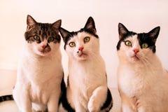 Gatti che posano per la macchina fotografica, fine del dolce tre su Fotografie Stock