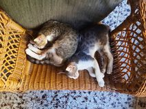 Gatti che riposano e che dormono peacfully Immagini Stock Libere da Diritti