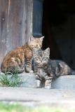 Gatti che si siedono davanti al portello di granaio immagine stock