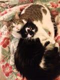 Gatti coccoli fotografie stock libere da diritti