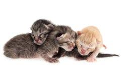 Gatti del bambino Fotografia Stock