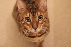 Gatti del Bengala - tigri Immagine Stock