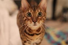 Gatti del Bengala - tigri Fotografie Stock Libere da Diritti