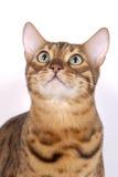 Gatti del Bengala - tigri Immagini Stock Libere da Diritti