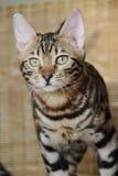 Gatti del Bengala - tigri Fotografie Stock