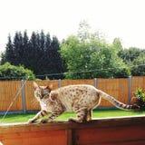 Gatti del Bengala - tigri immagine stock libera da diritti