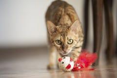 Gatti del Bengala - tigri Immagini Stock