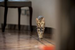Gatti del Bengala - tigri Fotografia Stock Libera da Diritti