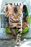 Gatti del Bengala in trasportatore dell'animale domestico Fotografia Stock