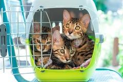 Gatti del Bengala in trasportatore dell'animale domestico Fotografie Stock Libere da Diritti