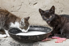 Gatti del vagabondo Fotografie Stock