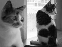 Gatti della Tailandia Immagine Stock