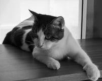 Gatti della Tailandia Fotografia Stock Libera da Diritti