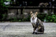 Gatti della Tailandia Fotografie Stock