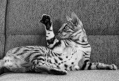 Gatti di Bengals Fotografie Stock