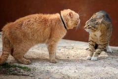 Gatti di combattimento Immagine Stock