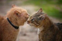 Gatti di combattimento Fotografie Stock Libere da Diritti