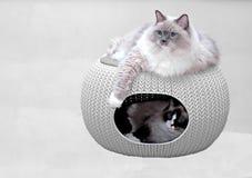Gatti di Ragdoll nella casa dell'animale domestico Fotografia Stock